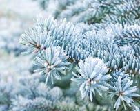 Förgrena sig av blått spruce Royaltyfria Bilder
