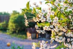 Förgrena sig av de körsbärsröda blomningarna Arkivfoto