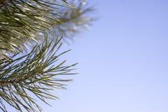 Förgrena sig av ett barrträd Fotografering för Bildbyråer