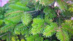 Förgrena sig av ett barrträd HD 1920x1080 stock video
