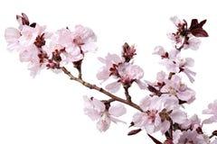 Körsbärblommor arkivfoto