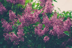Förgrena sig av lila blommor med lämnar Arkivfoto