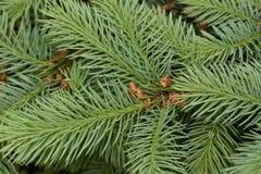 Förgrena sig av spruce Royaltyfri Bild