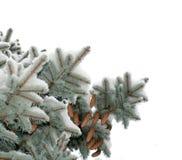 Förgrena sig blåa prydliga träd som täckas med snökottar Royaltyfria Foton