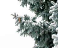 Förgrena sig blåa prydliga träd som täckas med snökottar Arkivbild
