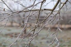 Förgrena sig closeupen som täckas med rimfrost Royaltyfria Foton