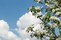 Förgrena sig det Apple trädet med blommor på bakgrund av blå himmel med moln, Fotografering för Bildbyråer