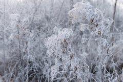 Förgrena sig dolt vid rimfrost på en bakgrund av snöig buskar Royaltyfri Foto