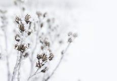 Förgrena sig en buske som täckas med frost royaltyfri bild