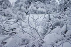 Förgrena sig i snowen Arkivbilder