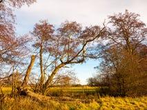 Förgrena sig kala träd för den härliga hösten som står högt upp skällstammar Royaltyfri Bild