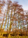 Förgrena sig kala träd för den härliga hösten som står högt upp skällstammar Royaltyfria Foton