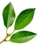 Förgrena sig (lem) det körsbärsröda trädet (sidor) på en vit bakgrund Royaltyfri Fotografi