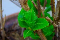 Förgrena sig med knoppen på en grön bakgrund, vegetation Royaltyfri Fotografi