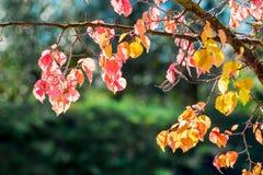Förgrena sig med mångfärgade sidor mot solen på en klar autum arkivbilder