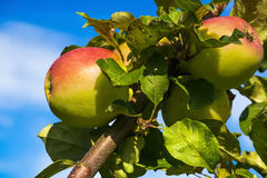 Förgrena sig med mogna äpplen på bakgrunden av blå himmel Royaltyfri Fotografi