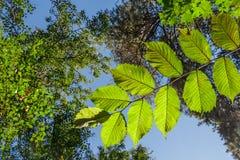 Förgrena sig med sidor av valnötträdet i skogen Arkivbild