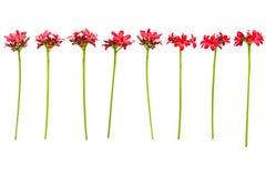 Förgrena sig med sidor och röda blommor som isoleras på vit bakgrund Bukett som isoleras på vit bakgrund Royaltyfri Fotografi