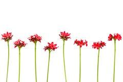 Förgrena sig med sidor och röda blommor som isoleras på vit bakgrund Bukett som isoleras på vit bakgrund Royaltyfria Bilder