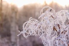 Förgrena sig med sidor som täckas av rimfrost på en snöig bakgrund Arkivbilder