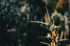 Förgrena sig med taggiga blommor av ulexeuropaeusen i naturen arkivfoton