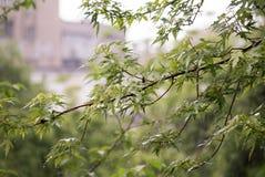 Förgrena sig med unga blad under det tunga vårregnet arkivbilder