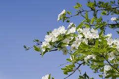 Förgrena sig med vita blommor mot den blåa himlen Fjädra vita blommor av ettträd i en parkeranärbild Arkivfoto
