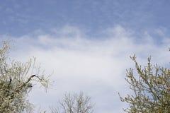 Förgrena sig med vita blommor mot den blåa himlen Fjädra vita blommor av ettträd i en parkeranärbild Arkivfoton