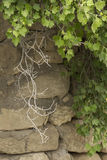 Förgrena sig vinbär mot bakgrunden av en stenvägg arkivbilder
