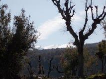 Förgrenade döda trädet i vintern med en naturlig bakgrund bakom Arkivfoton