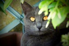 Förgrund av en grå katt med bärnstensfärgade ögon arkivbilder