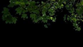 Förgrundsträd som blåser i vind med matte V1 arkivfilmer