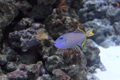 Förgylld triggerfish Royaltyfri Fotografi