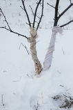Förhindra och reparera djur skada till träd Royaltyfri Bild