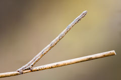 förklädd trollstav för larv Makro Bakgrund Fotografering för Bildbyråer