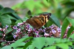 Förkroppsligade fjärilar och bruna vingar arkivfoton