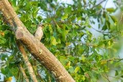 Förlöjliga fågeln som sjunger i trädet royaltyfria foton