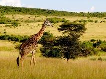 Förlage av Maasaien Mara Royaltyfri Foto