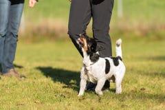 Förlagehanterare med hans hund Sport med en lydig stålarrussell terrier arkivfoto