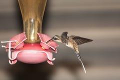 förlagematareensling long tailed Royaltyfri Fotografi