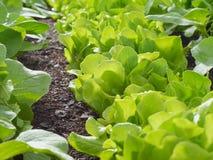 Förlora upp av salat med waterdrops Royaltyfria Foton