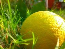 förlorad frukt Arkivfoton