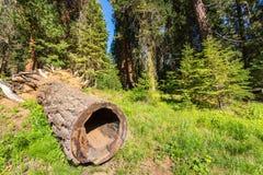 Förmultna stubben mot sörja det massiva trädet Arkivfoto