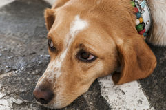 Förorättad hund Arkivfoton