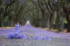 Förorts- väg med linjen av jakarandaträd och liten filial med Arkivfoton