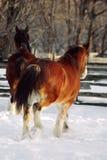 förrymda hästar royaltyfria bilder