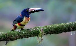 Försåg med krage Aracari i djungeln av Costa Rica Fotografering för Bildbyråer