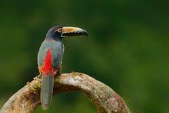 Försåg med krage Aracari, Pteroglossus torquatus, fågel med den stora räkningen Tukansammanträde på filialen i skogen, Boca Tapad Arkivfoto