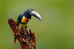 Försåg med krage Aracari, Pteroglossus torquatus, fågel med den stora räkningen Tukansammanträde på filialen i skogen, Boca Tapad Royaltyfri Foto