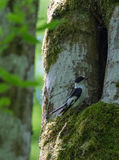 Försåg med krage de manliga flugsnappareFicedula albicollisna Fotografering för Bildbyråer